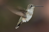 Японские ученые создали робота-колибри